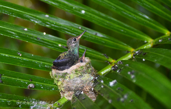 Rufous-Tailed Hummingbird  mother in nest seen by jacuzzi.