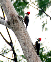 2 Lineated Woodpeckers seen from our patio.