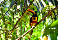 Fiery-Billed Aracari seen from our patio.