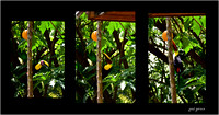 Toucan and Papaya seen from patio.
