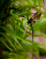 *see more hummingbirds in the Hummingbirds Gallery*