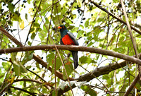 Slatey Trogon in our backyard.