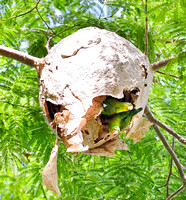 Parrots living in a wasp's nest seen from our paito.