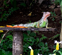 Green Iguana on our feeding station.